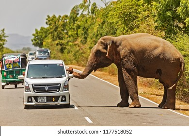 NATIONAL PARK YALA,SRI LANKA -  September 6, 2018: Asian elephant, (Elephas maximus) on the road touch to cars