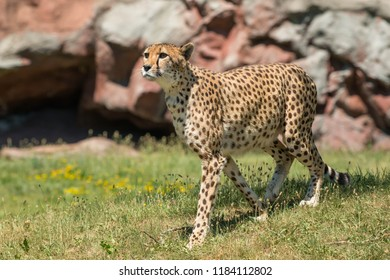 Native of Africa, a captive female cheetah walks in the grass at the zoo. Toronto, Ontario, Canada.