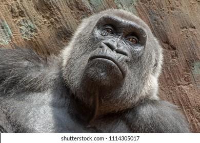 Native of Africa, closeup of a captive Western Lowland Gorilla at the zoo. Toronto, Ontario, Canada.