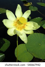 Native aquatic plant, American water lotus (Nelumbo lutea), blooming on a Florida lake.