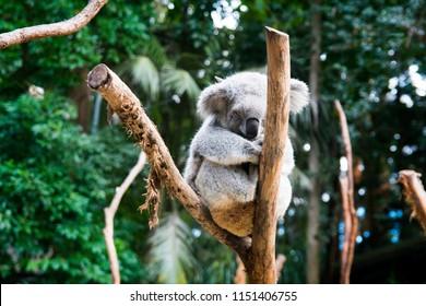 Native Australian animal koala resting on the wooden limbs surrounded by green Australian bushes and trees, grey Koala bear mammal sleeping on tree limb in the forrest