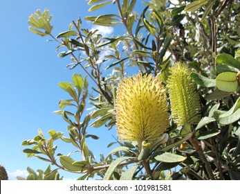 Native Australian Banksia