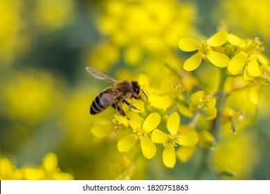 Native Australian Bee on Yellow Flower