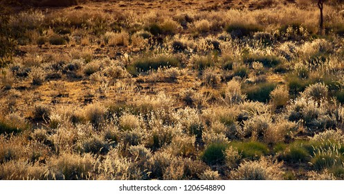 NAtive Australian grassses are seen in the afternoon light in the australian outback
