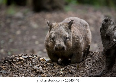 A Native Australian Hairy Nosed Wombat