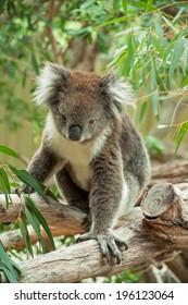 native Australian Koala bear eating eucalyptus leaves