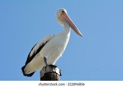 Native Australian Pelicans on wooden pole in the Gold Coast in Queensland, Australia.