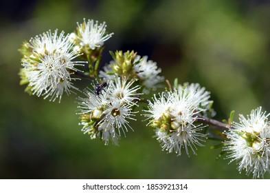 Native bee on white, honey-scented flowers of the Australian native Kunzea ambigua, tick bush, growing in Sydney, Australia. Family Myrtaceae