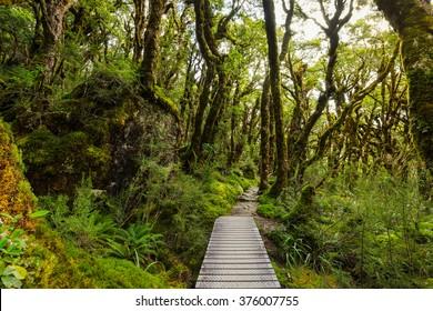 native beech forest of New Zealand