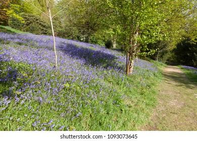 Native British bluebells growing in spring.