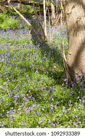 Native British bluebells growing wild in ancient woodland.