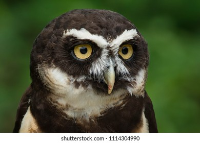 A native of Central and South America, a close up of a captive Spectacled Owl at the zoo. Toronto, Ontario, Canada.