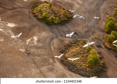 Native Companions in Wetlands near Walcott Inlet in the Kimberley Region of Western Australia
