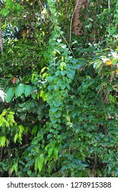 Native Dutchmans Pipe vine growing in The Daintree raon forest in North Queensland, Australia