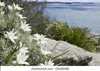 Native Flannel flower,  North Head coastal walk at Manly Sydney Australia.1638