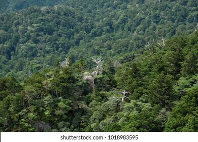 Native forest Yakushima