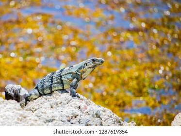 Native Lizard Sunning, Beachside, Belize