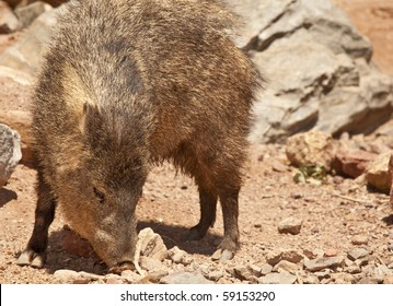 Native Peccary (known as a Javelina) in Arizona's desert.