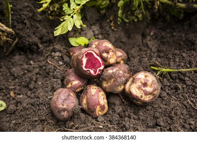 Native Peruvian potato