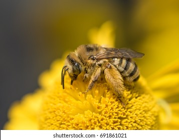 Native pollinator Long Horned Bee (Mellisodes) on a bright yellow Helen's Flower (Helenium autumnale)