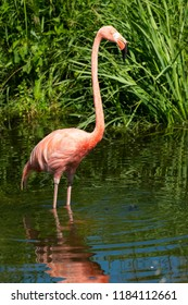 A native of South America, a captive American Flamingo stands in the shallow water at the zoo. Toronto, Ontario, Canada.