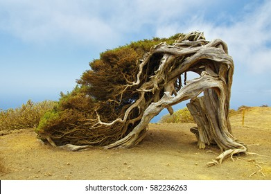 Native tree twisted by the force of wind, Sabinar El Hierro. Canary island, Spain