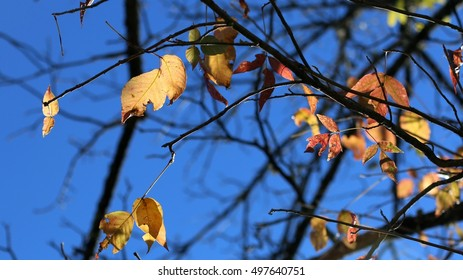 Native Virginian Hardwood Tree Leaves Hanging From Branches Turning Bright Red, Yellow And Orange Colors During The Season Of Fall With Blue Sky Beyond On A Farm In The Mountains Of Virginia