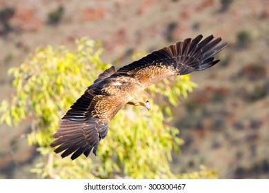 A native wedge tailed eagle in flight near Alice Springs, Northern Territory, Australia