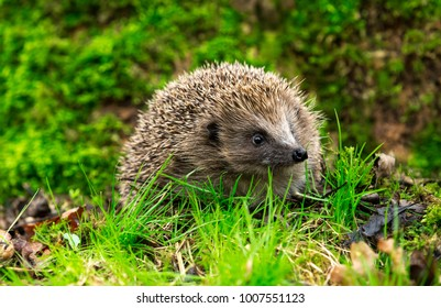 Native, Wild European hedgehog in the forest with green grass and green blurred background.  Facing right.  Landscape.
