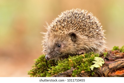 Native, wild European hedgehog on a green mossy log with blurred  light, clean background.  Erinaceus europaeus  Facing left. Landscape