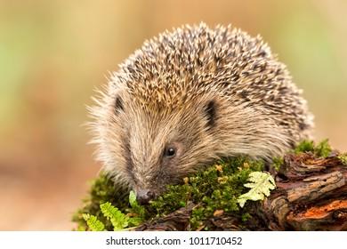 Native, wild hedgehog on a green mossy log