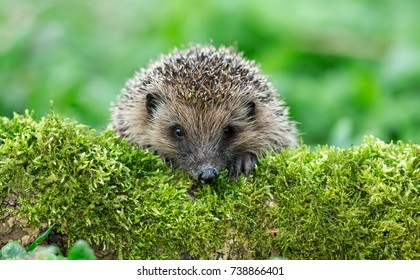 Native, Wild Hedgehog on a green Moss covered log with a green background