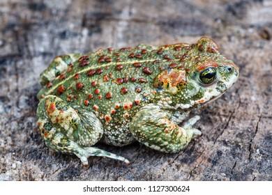 Natterjack toad. Bufo calamita.