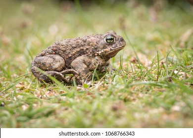 The natterjack toad (Bufo calamita) is a toad native to sandy and heathland areas of Europe.