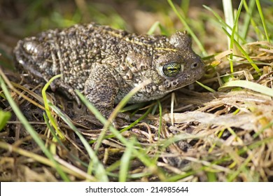 Natterjack Toads hiding in the grass at RSPB Mersehead, Dumfries and Galloway, Scotland, UK.