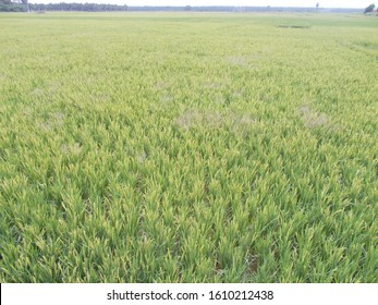 Natural Agricultural Land with Greeny Paddy Land