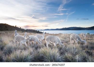 Natural Alpacas on hills