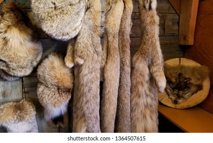 Natural Animal Pelts Hanging in a Rustic Log Cabin Setting; Travel, Hunting, Shopping, Cultural Economics