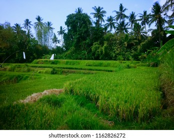 Natural Atmosphere In The Middle Of Rice Fields At Ringdikit Village, Buleleng, North Bali, Indonesia