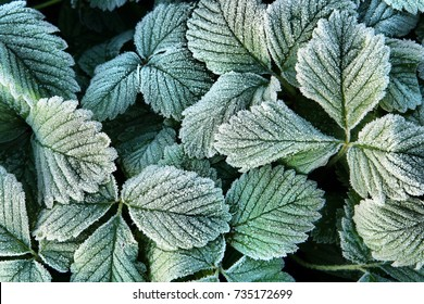 Natural autumn background with green frozen leaves in hoarfrost