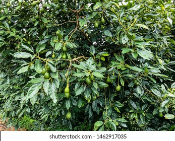 Natural Avocado tree on the Forrest