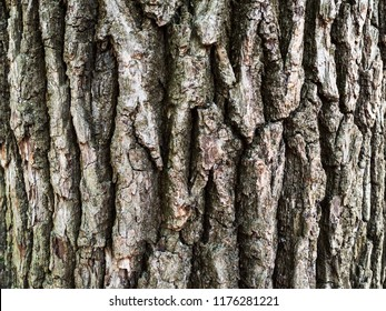 natural background - bark of old oak tree (Quercus robur, Common Oak)