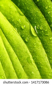Natural background. Beautiful tropical leaf texture with streaks and color transition from light green to dark green, drops of water dew or rain in nature close-up macro.