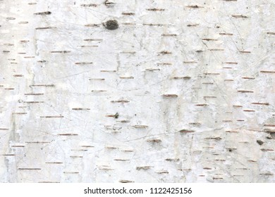 Natural background of birch bark with natural striped birch texture and with birch tree bark details close up