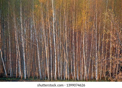 the natural background - birch forest
