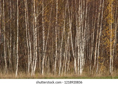 the natural background - birches