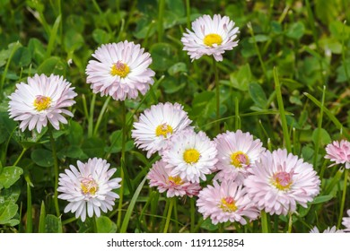 Natural background with blossoming daisies (bellis perennis)