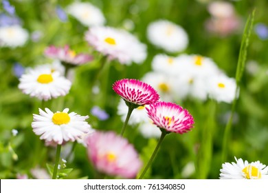 Natural background with blossoming daisies (bellis perennis). Soft focus