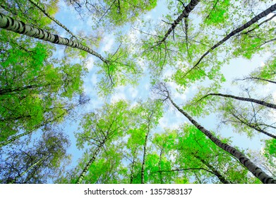 natural background bottom view of the tops of birch trees stretch towards the blue sky with green succulent fresh leaves in spring in the park