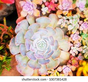 Natural background Cactus succulent plant